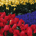 1380 - Tulip Field Background